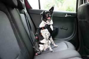 Dog securely strapped in the backseat of car