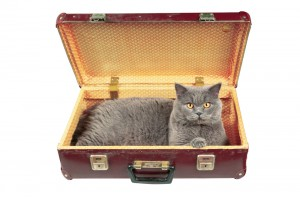 Gray cat sitting in a suitcase